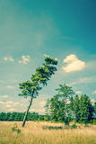 Tall pine tree on a dry field Royalty Free Stock Image