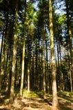 Tall pine tree forest at mount Bobija Stock Photo