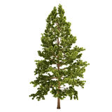 Tall Pine Tree Isolated. On white Stock Images