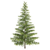 Tall Pine Tree Isolated. On white Royalty Free Stock Image