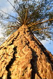 Tall pine tree Royalty Free Stock Photo