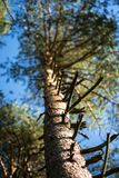 Tall pine tree with lush crown, branched trunk and sharp twigs. Bright summer colors of nature, lit by sunlight, please the eye and create an positive mood Stock Photography
