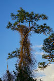 Tall pine Tree and the parasitic vine Royalty Free Stock Images