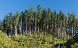 Tall Pine Tree. Pine tree plantation growing to on a hill side Stock Photography