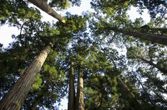 Tall pine tree seen from below Stock Images