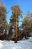 Tall Pine Tree in Winter Forest Royalty Free Stock Photography