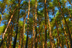 Tall pine trees Stock Photos