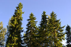 Free Tall Pine Trees Stock Images - 26113414