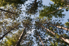 Tall Pine Trees. Looking up through the pine trees in a wilderness area Royalty Free Stock Images