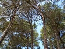 Tall pine trees. Stock Images