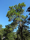 Tall Pine Trees Royalty Free Stock Image