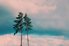 Tall pine trees Royalty Free Stock Photography