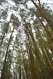 Tall Pine Trees against Sky at Pine Forest Valley, Vagamon, Idukki, Kerala, India Stock Images
