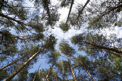Tall pine trees on background a blue sky Royalty Free Stock Image