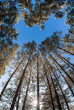 Tall pine trees on the background of the winter sky Royalty Free Stock Photography