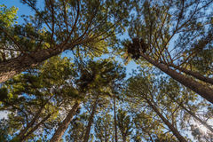 Tall pine trees. With blue sky royalty free stock photos
