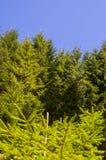 Green Pine tree and blue sky stock photos