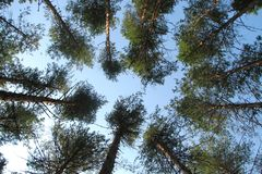 Tall pine trees in a coniferous forest in a circle on a background of summer blue sky royalty free stock images