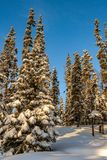 Pine Trees with Fresh Snow Cover. Tall pine trees covered with a fresh heavy layer of new snow royalty free stock images