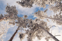 Tall pine trees Stock Images
