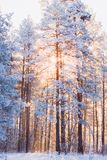 Beautiful forest winter landscape with pines royalty free stock photos