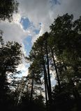 Tall pine trees, cumulus clouds and blue sky. Royalty Free Stock Photo