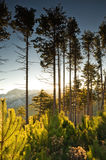 Tall pine trees at dawn Royalty Free Stock Photos
