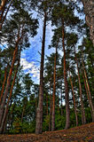 Tall pine trees. Detailed pine trees during daylight blue sky forest clouds Royalty Free Stock Photos