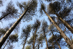 Tall pine trees Stock Photo