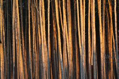 Tall pine trees in a forest.  royalty free stock photo