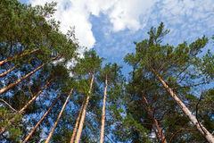 Tall pine trees in the forest Stock Photo