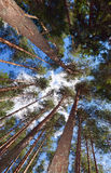 Tall pine trees in the forest Stock Image