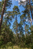 Tall pine trees in forest with blue sky and clouds. Royalty Free Stock Photo