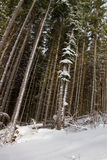 Tall pine trees in the forest. Royalty Free Stock Image