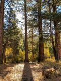 Tall Pine Trees in the Forest. This image was taken in Yosemite National Park during Fall of 2018 stock images