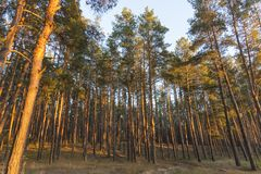Tall pine trees in the forest at sunset time. Tall old pine trees in the forest at sunset time stock images