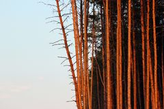 Tall pine trees in a forest.  stock photography