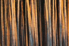 Tall pine trees in a forest.  stock photo