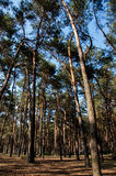 Tall pine trees in the forest. Royalty Free Stock Photos