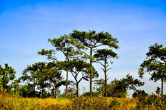 Tall pine trees on the hill. In summer Royalty Free Stock Images
