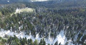 Tall pine trees on a hilltop covered with snow. Winter forest on a mountain slope, sunny day, white rolling hills to the horizon, blue sky, snowy forest roads stock video