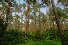 Tall pine trees and lush green shrubs on a bue sky in a forest in Flanders. Tall pine trees and lush green shrubs and grass on a blue sky in a spruce forest in royalty free stock image