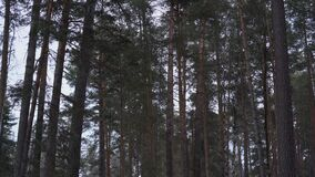 The tall pine trees are slowly swaying in the wind in the forest. Panorama. From the bottom up stock footage