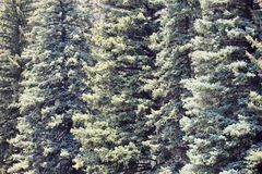 Tall pine trees standing in the forest close up Stock Photos