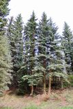 Tall pine trees standing in the forest Stock Photography