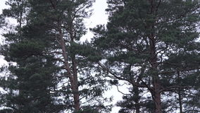Tall pine trees swaying in wind stock video