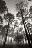 Tall Tree Forest Stock Photos