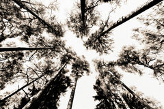 Tall pine tree background viewed from the ground. Tall pine trees viewed from the ground Royalty Free Stock Image