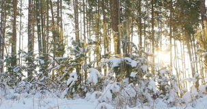 Tall pine trees in the winter forest with sun rays. 4k stock video
