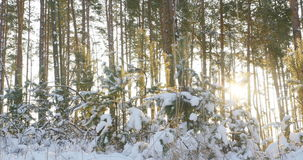 Tall pine trees in the winter forest with sun rays. 4k stock video footage